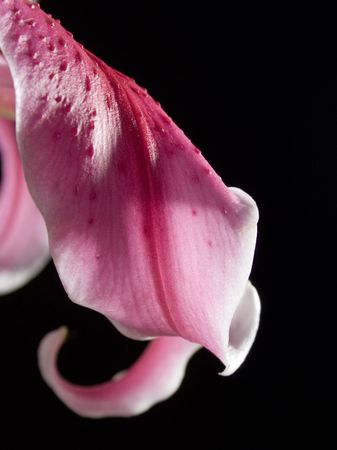 pink blossom flower isolated in black