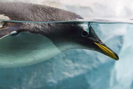 penguin swimming in water. Very close portrait, it is looking at you photo