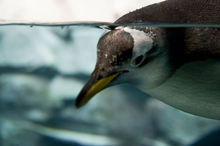 penguin swimming in water. Stock Photo - 2413450