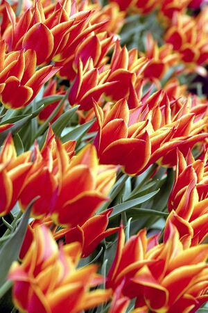 Colorful tulips photo