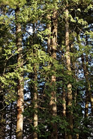 Detail of trees in a forest. Vertical image Stock Photo