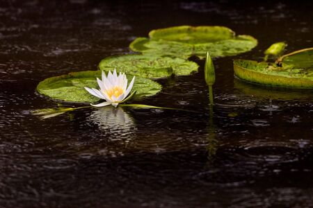 water lily pad and flowers floating in a pond
