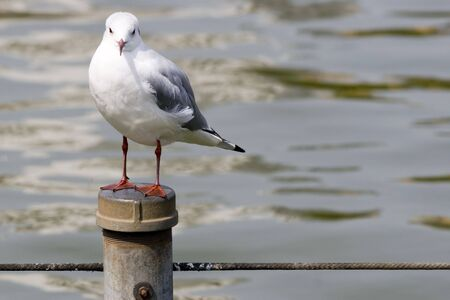 One white seagull perched on a post over water.  Stock Photo