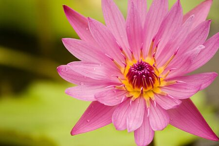 Detail of a pink lotus flower with water drops in petals
