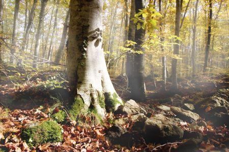 Beech forest in autumn season. La fageda den Jord�. Olot, Catalonia, Spain Stock Photo
