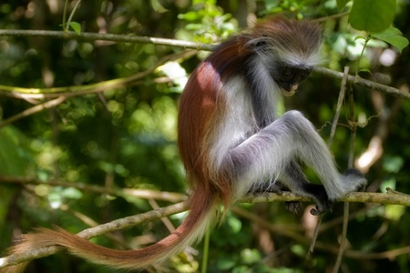 A red colobus is standing on a tree, looking down