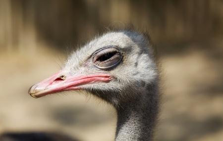 ostrich profile close up.