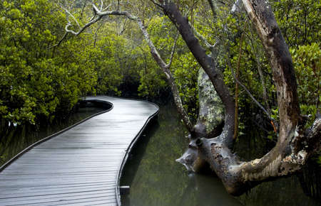Boardwalk through the mangroves Stock Photo - 5161182