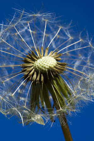 A dandelion with half its seeds blown off against a blue sky background