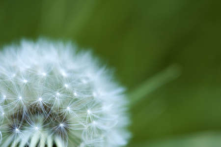 The white head of a dandelion on a green background Stock Photo