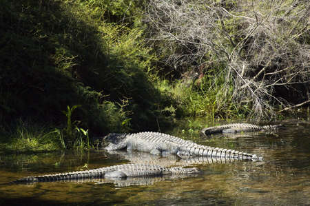 Alligators waiting in the shallows