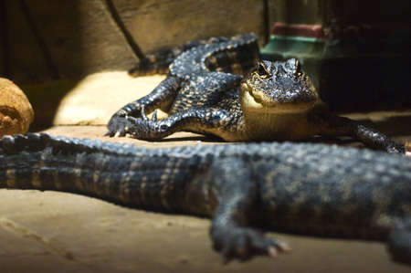 Two small Alligators in an Egyptian themed room photo