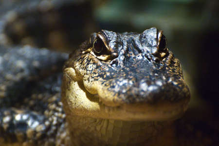 Close up of the head of a baby alligator photo