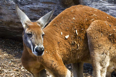 Close up of a large Red Kangaroo