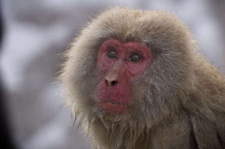Close up of a Japanese snow monkeys face