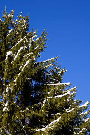 Pine tree with snow on the branches against a blue sky