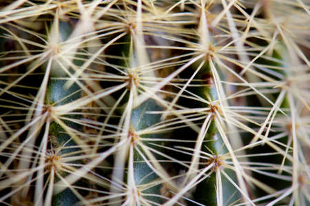spines: Close up of golden cactus spines