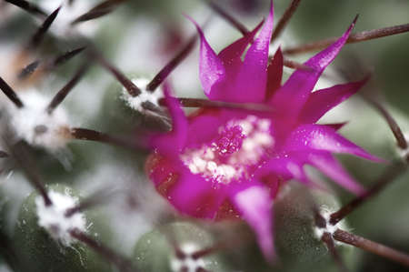 Pink flower surrounded by spines on a green cactus