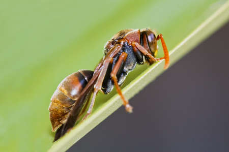 Common Paper Wasp (Polistes humilis) resting on a green leaf Stock Photo