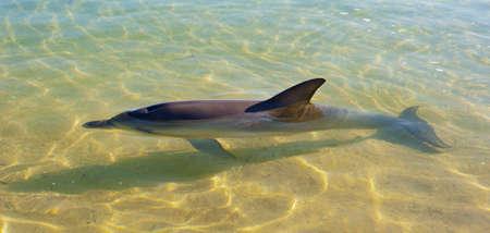 orificio nasal: Delfines nariz de botella en agua baja clara con un fondo de arena. Foto de archivo