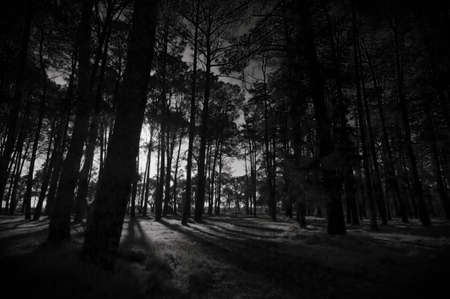 The late afternoon sun filters through a forest of tall trees.  Black and white.
