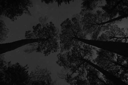 Looking up through the tall trees at the starry night sky. photo