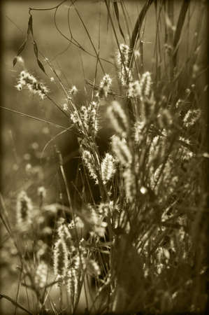 Sunlight shines on the fluffy seed heads of grass   Sepia