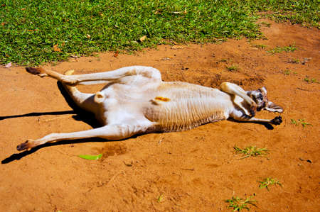 rudely: A red Kangaroo rudely relaxing on the red Australian soil