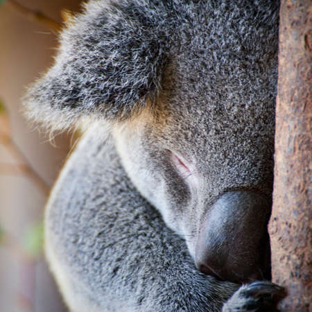 Close up of a cute Australian Koala bear face sleeping showing the soft, fluffy fur and big nose  Stock Photo