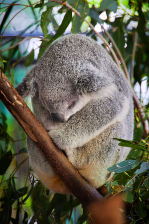 Close up of a cute Australian Koala bear curled up in a Eucalyptus tree sleeping showing the soft, fluffy fur and big nose