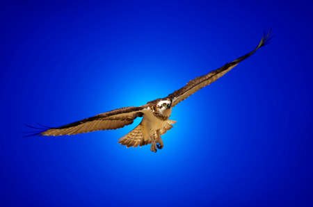 A bird of prey flies through the blue sky in search of its next meal. photo