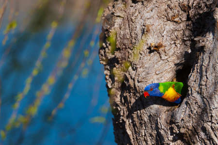 nesting: A colorful native Australian lorikeet nesting in a tree hollow.
