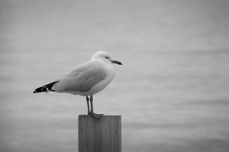 wooden post: One lonely seagull resting on a wooden post. Black and white.