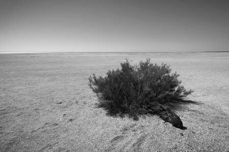 A single plant clings to life in the barren desert.  Black and white.
