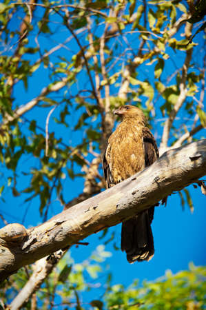 An Australian brown Whistling Kite sits on a tree branch among amid the foliage looking for his prey. Stock Photo
