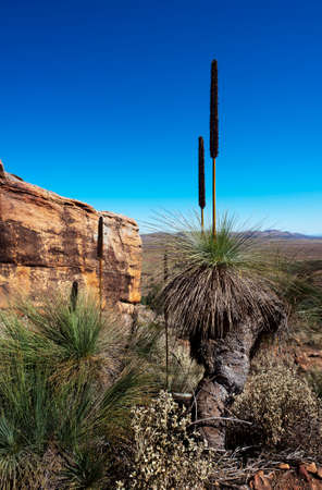 Australian bush outback landscape scene with a flowering Grass Tree.  Xanthorrhoea, commonly known as BlackBoy Trees in Australia.
