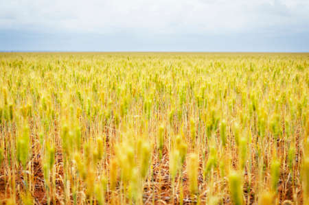 Looking across a golden field of wheat to the horizon on a cloudy day. Stock Photo
