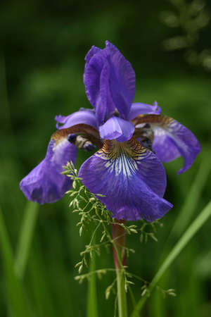 Purple Iris Фото со стока