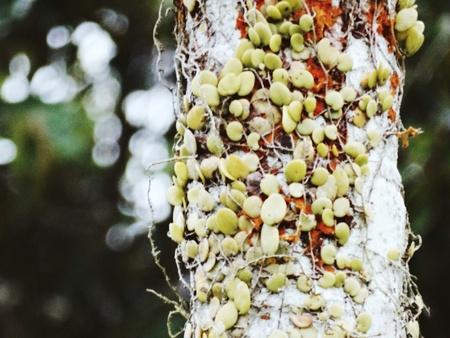 betelnut: Pyrrosia piloselloides on a betelnut tree