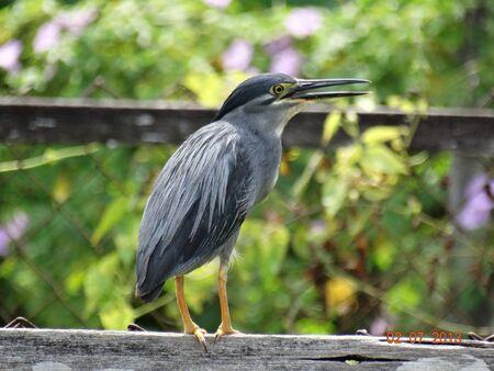 sandakan: A heron bird in Sandakan