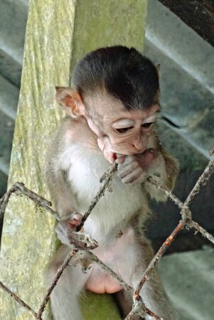 sandakan: Little young monkey got out from cage at Sandakan Crocodile Farm