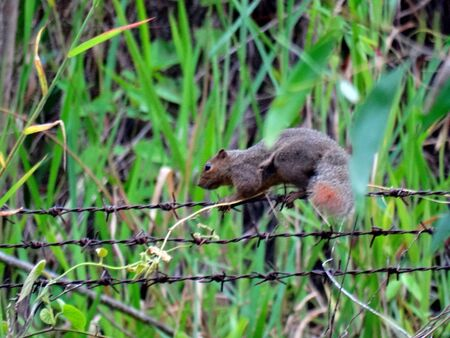 fence: A squirrel walking on fence Stock Photo