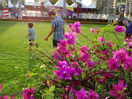 bougainvilleas: Pink Bougainvilleas Stock Photo