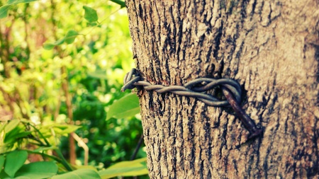 nailed: Barb wire nailed on a tree Stock Photo