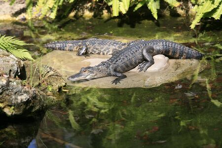 Two alligators laying on a rock in a pond. photo