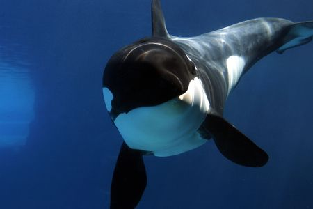 Killer Whale jumping out of the water, doing a back flip. photo