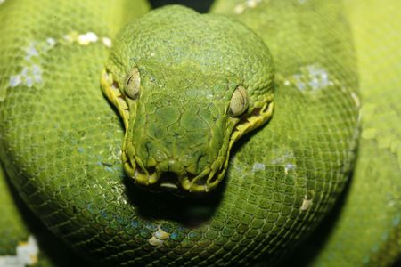 Close up photo of an Emeral Tree Boa taken with macro lens, could also be a  Green Tree Python. Scientific Name - Corallus caninus. Stock Photo - 3700435