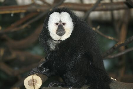 saki: Portrait of a White Faced Saki Monkey ( Pithecia Pithecia ) also known as Golden-face saki monkey.