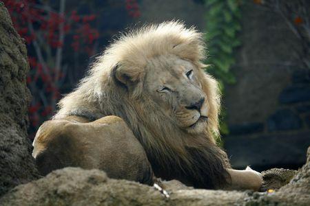 merlin: Merlin el Rey Le�n de descanso ontop de una roca. Foto de archivo