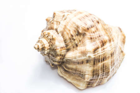 Sea shell isolated on white background, studio shot. Stock Photo - 17991093